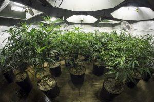 Indoor Marijuana Grow Room with Plants in Soil Under Lights