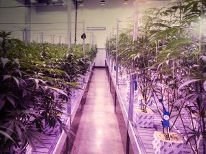 green and gold supply co grow room