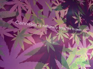 cannabis facts grow room