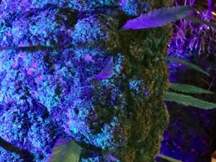 Civilized Highlights Cannabition Cannabis Museum