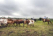 cattle-drive-793676_1280.jpg