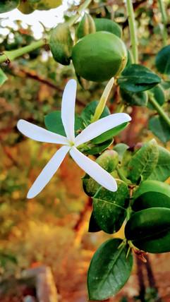 Jasmine in Autumn