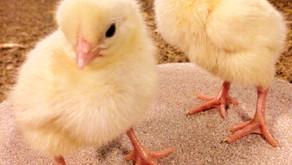 Einstallung - 7 Tipps für deine Hähnchenküken