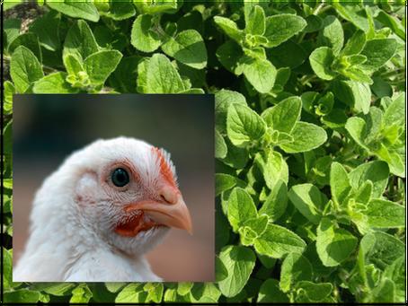 Oregano - Wirkung und Nutzen in der Geflügelhaltung