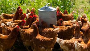 Hühner im Garten: Wasserversorgung - darauf solltest du achten