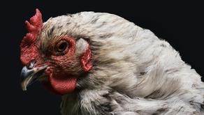 IB - Corona Viren beim Geflügel