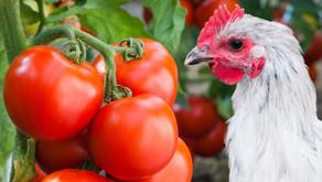 Dürfen Hühner Tomaten fressen?