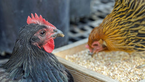 Hühnerkrankheiten: Was tun bei Kropfverstopfungen?