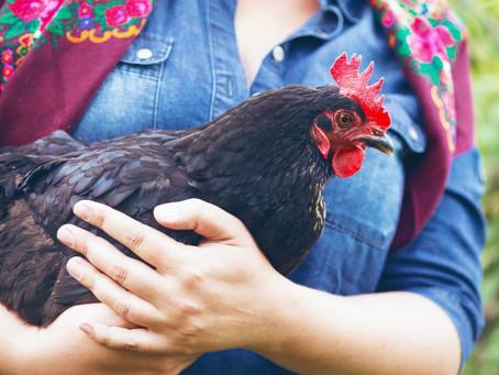 Die Hausapotheke für Gartenhühner - diese Dinge gehören hinein