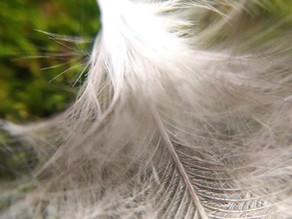 Verflixt und angepickt!  Tipps gegen Federpicken bei Hühnern