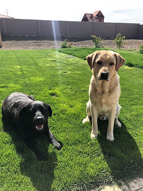 adoptable dogs - labrador