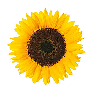 sunflower-large.jpg