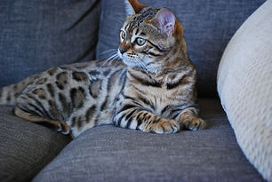 Bengal Kittens For Sale, Bengal Breeders in Victoria, Australia