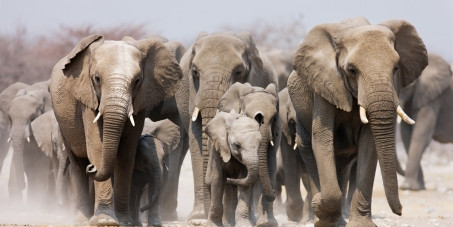 Namibia to auction 170 wild elephants amid drought and rising population
