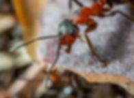 carpentar_ant.jpg