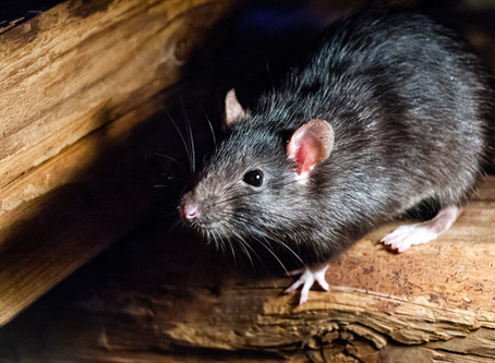 Mice vs Rats: How to Tell the Difference