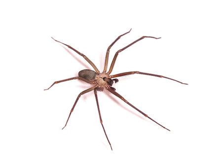 Spiders in Alaska: The Brown Recluse