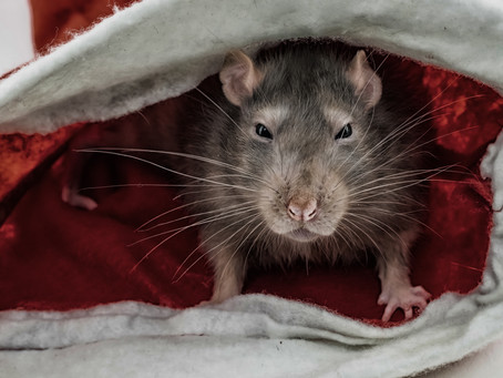 5 Things You Need to do to Keep Rodents Away From Your Christmas Dinner