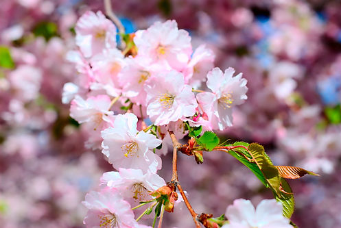 Flowers_of_Japanese_Cherry.jpg