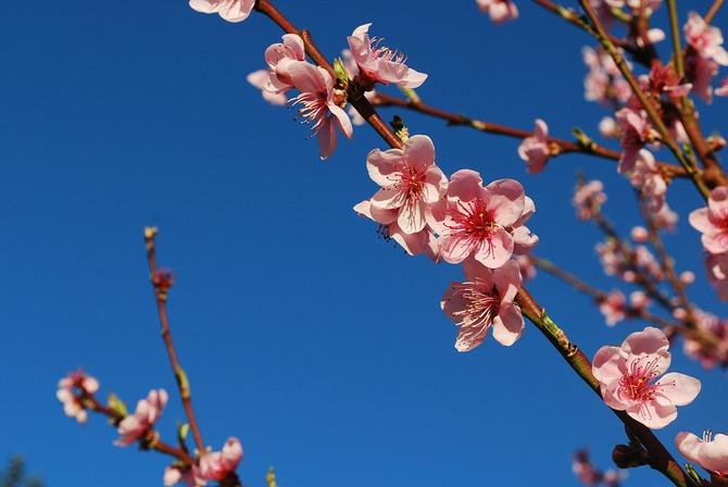 Ny hemsida och körsbärsblommor
