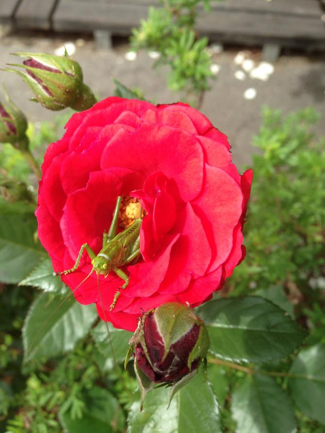 Gräshoppan i rosen