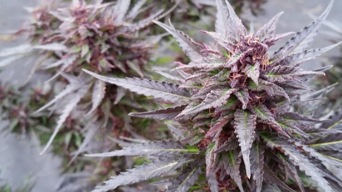 Master Kush by iDII™ i502 Cannabis™