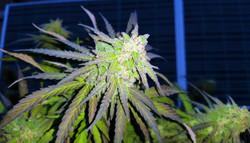 Alaskan Thunder Fuck ATF grown by_ i502 Cannabis™ The Natural Cannabis Brand™