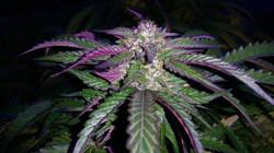 AK47 by  iDII™ i502 Cannabis™