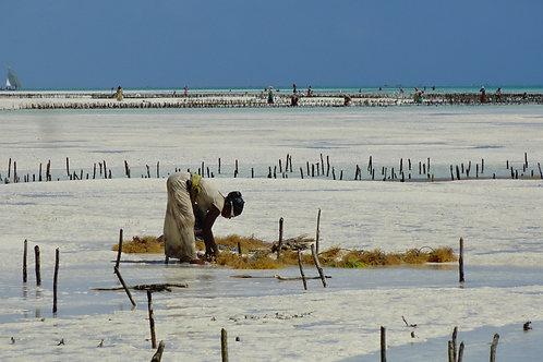 Alga, Zanzibar (2011)
