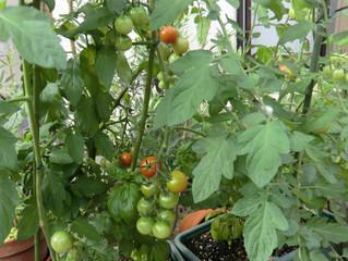 プチトマトがたくさんできた。