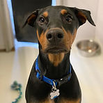 Max might be the most handsome dobie eve