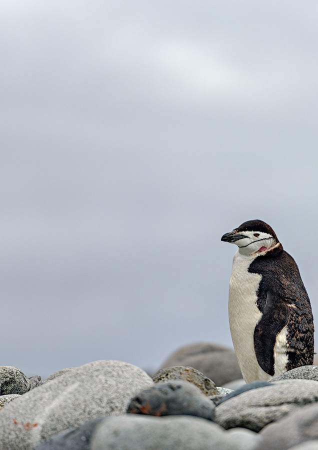 Chinstrap Penguin, Greenwich Island