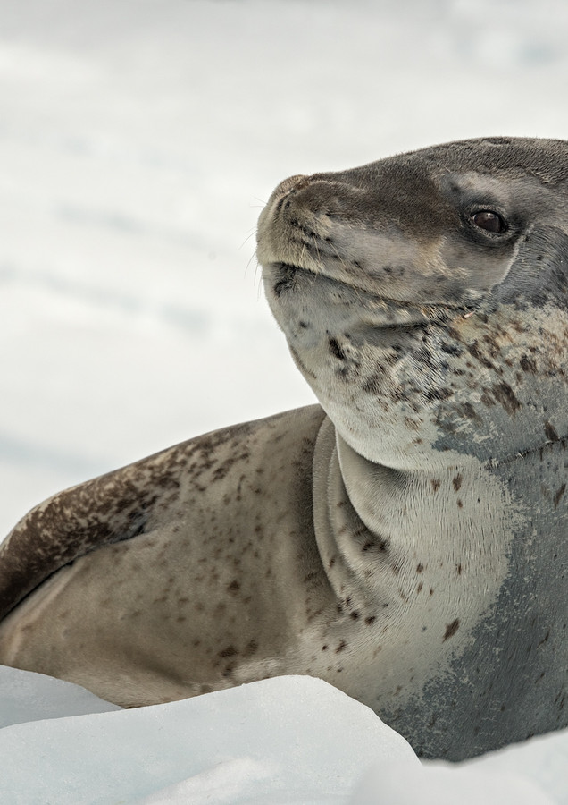 Leopard seal, Paradise Bay