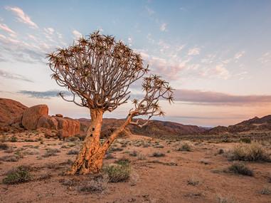 Quiver tree, Richtersveld