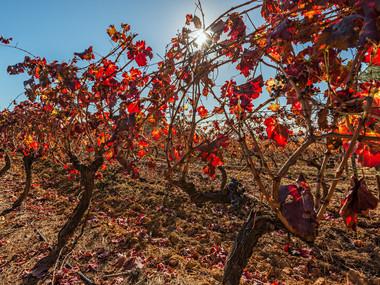 Vineyards, Stellenbosch