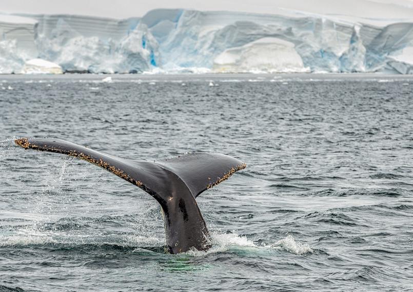 Humpback whale, Wilhelmina Bay