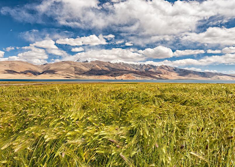 Wheat field, Tso Moriri