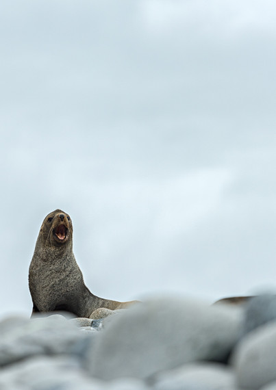 Fur Seal, Greenwich Island