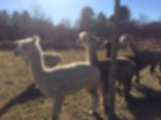 alpacas waggin tail farm, maine, yarn