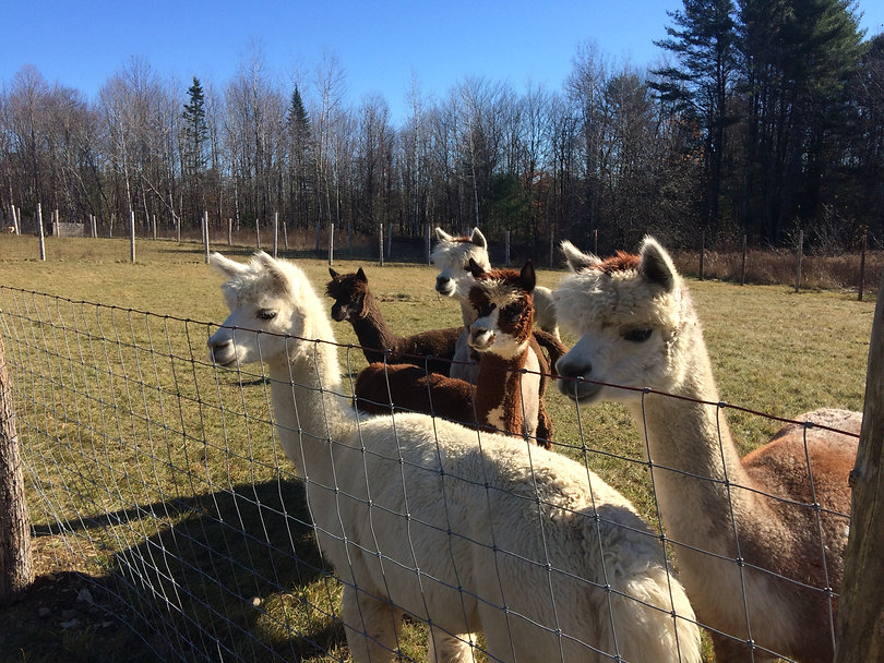 alpacas waggin tail farm, maine, yarn