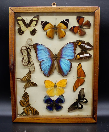 Taxidermy Butterfly Framed Collection