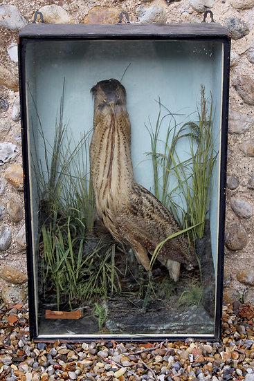 Antique Taxidermy Bittern