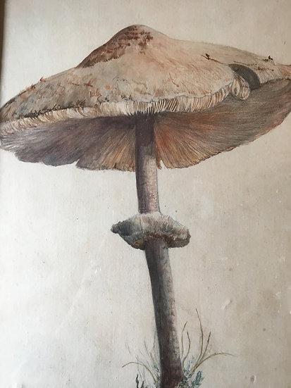 Mushroom Watercolour Painting c1920