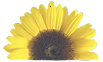 my%20sunflower_edited.png