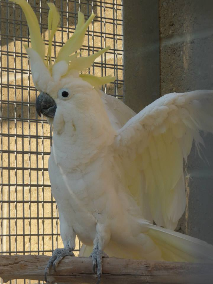 Casper (Eleonoras Cockatoo)
