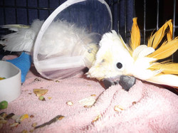 Pumpkin Citron Crested Cockatoo with collar and bandage