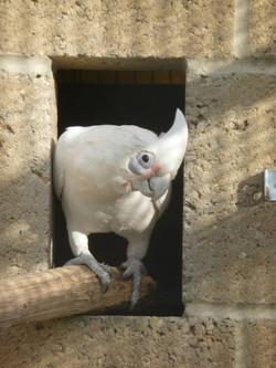 Eldrick Bare Eyed Cockatoo 2014