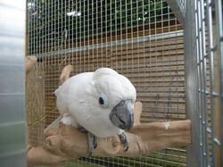 Pepe (female Umbrella Cockatoo)