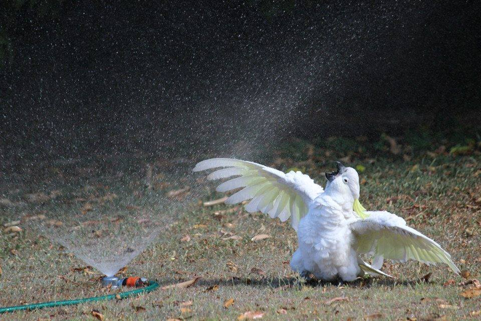 Cockatoo having a bath