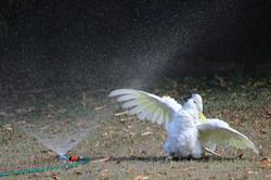 Cockatoo having a bath